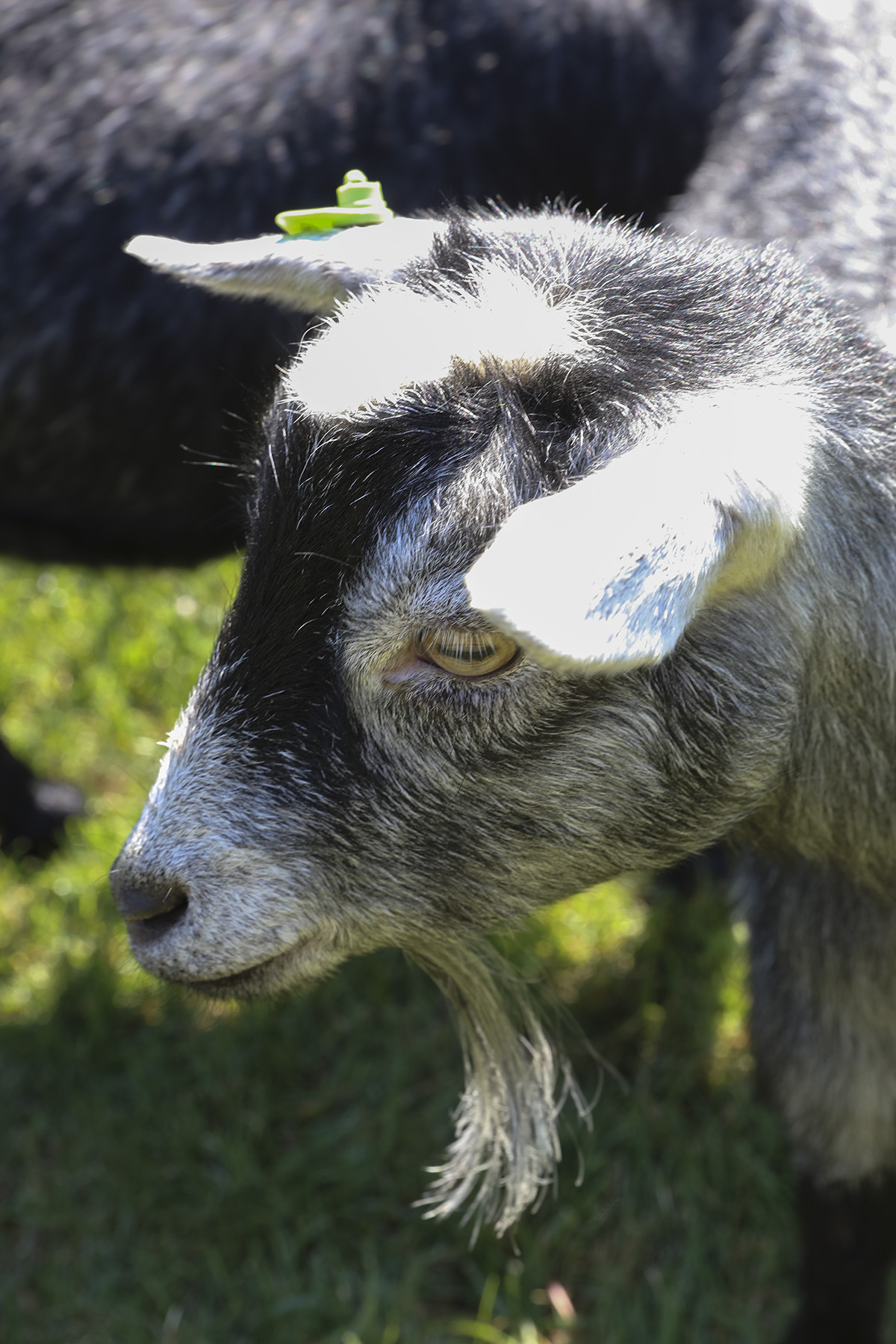 Goats on Campus-00258