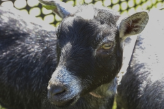 Goats on Campus-00251