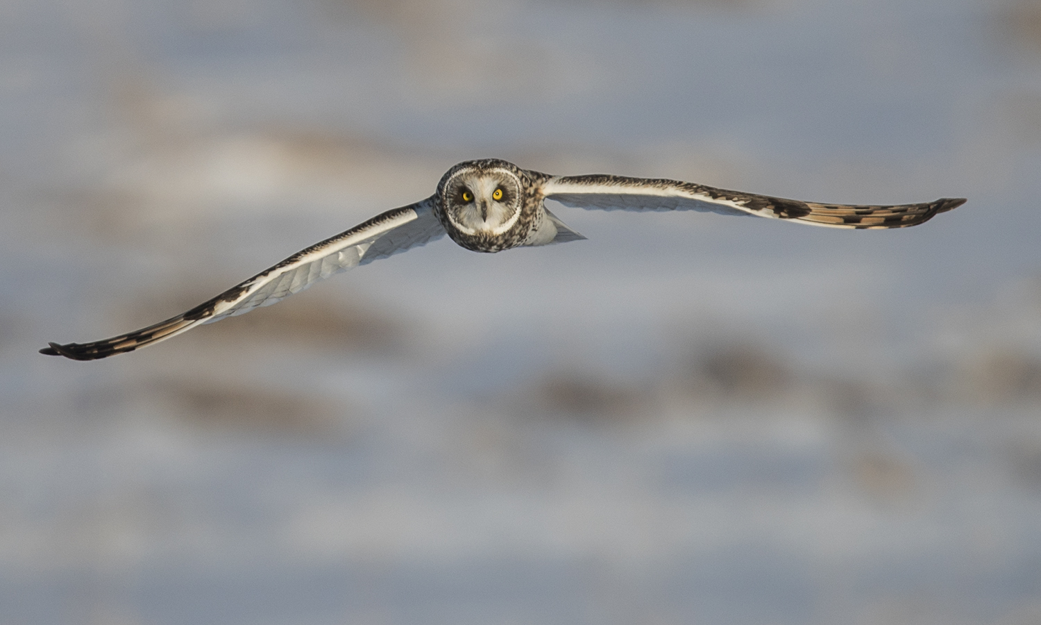 A short-eared owl glides over Montezuma National Wildlife Refuge in Seneca Falls, N.Y.