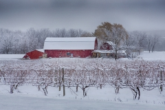 Snow accumulates on grape vines on a winterâs day.