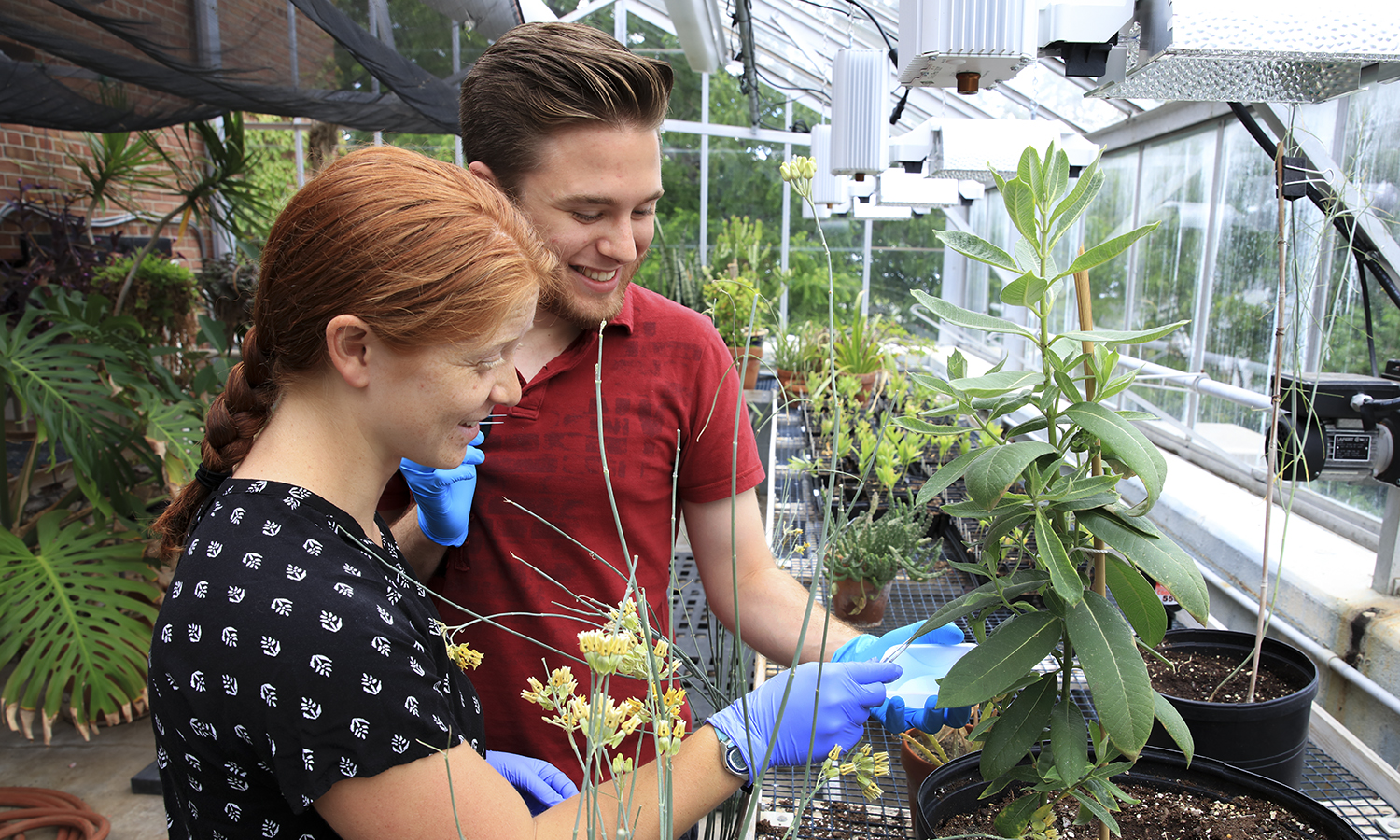 Carl Wagner '19 and Therese Mandracchia '19 examine a common milkweed plant in a greenhouse on top of Eaton Hall. Wagner and Mandracchia are working on understanding the evolutionary relationships among North American milkweeds using DNA sequence data.