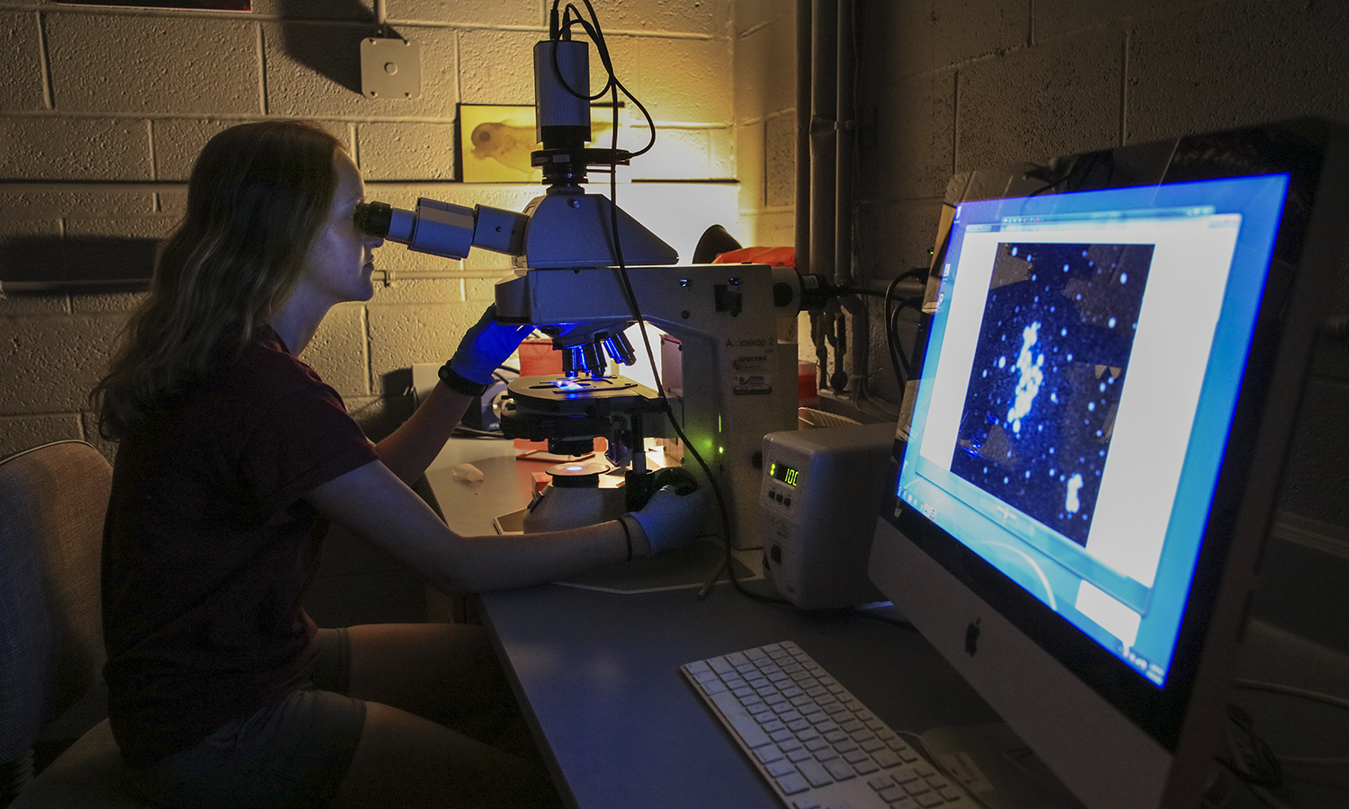 Bri Hurysz '20 develops a fluorescent microscopy assay to determine if compounds synthesized by Professor of Chemistry Erin Pelkey's lab induce apoptosis, a type of programmed cell death.