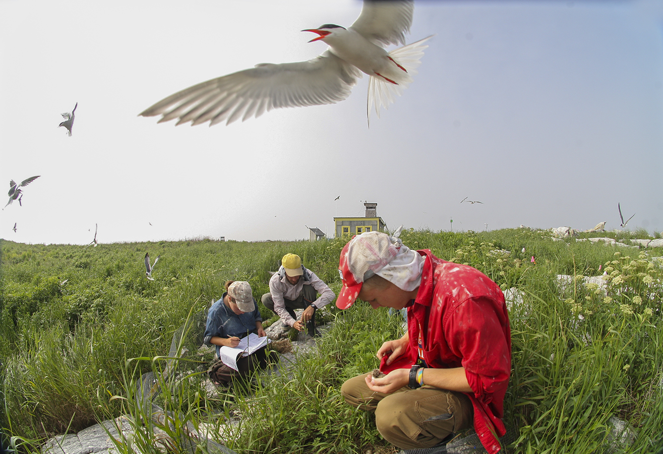 Bob Taylor '10 bands a puffin while interning this summer with Project Puffin, a project of The National Audubon Society to restore puffins to historic nesting islands in the Gulf of Maine.