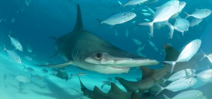 Great Hammerhead shark swims over nurse sharks through bait fish shoal, Bimini.