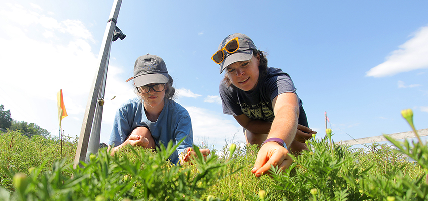 Emily Kelley '17 and Food Systems Program Manager Sarah Meyer harvest marigold at the HWS Fribolin Farm.
